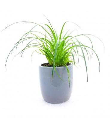 گیاه آگاو لیندا به همراه گلدان سفالی
