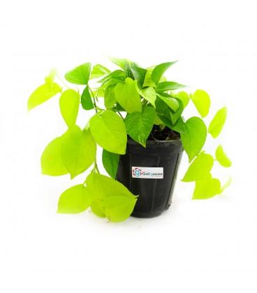 گیاه پتوس طلایی