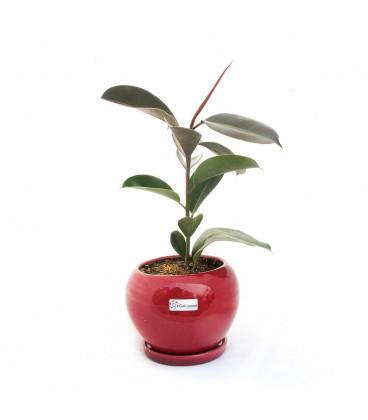 گیاه فیکوس به همراه گلدان