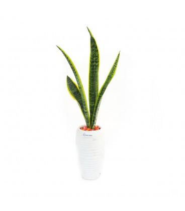 گیاه سانسوریا ابلق به همراه گلدان سفال