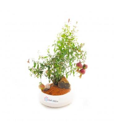 بونسای انار متوسط به همراه گلدان سفال