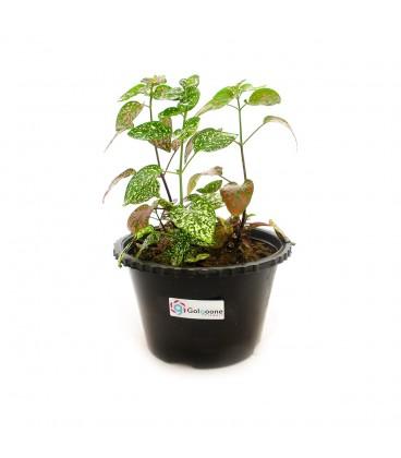 گیاه آپارتمانی گل سنگ
