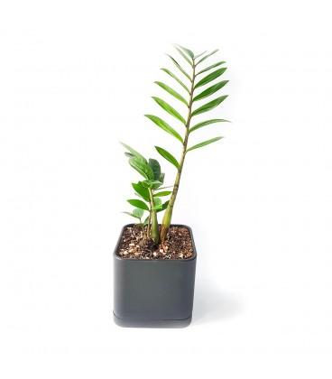 گیاه زاموفیلیا به همراه گلدان میکا مکعب | سایز متوسط