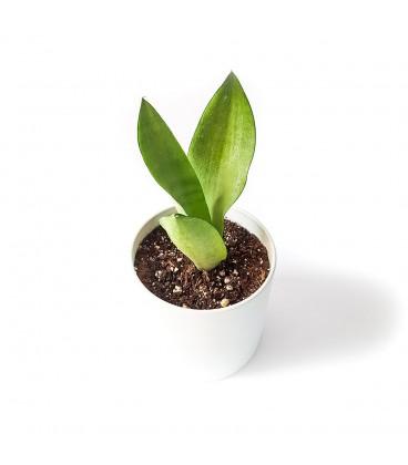 گیاه سانسوریا مهتابی به همراه گلدان میکا استوانه ای | سایز کوچک