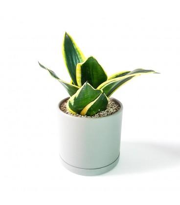 گیاه سانسوریا گلدن هانی به همراه گلدان میکا استوانه ای   سایز متوسط