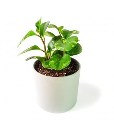 گیاه پپرومیا برگ قاشقی به همراه گلدان میکا استوانه ای   سایز متوسط