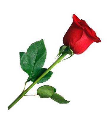 شاخه گل رز قرمز