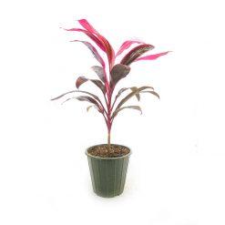 گیاه کوردیلین