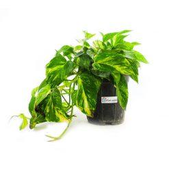 گیاه پتوس ابلق