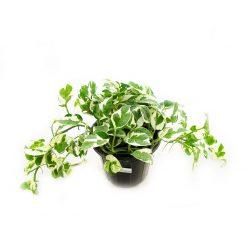 گیاه پتوس سفید