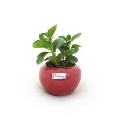 گیاه پپرومیا قاشقی به همراه گلدان سفال