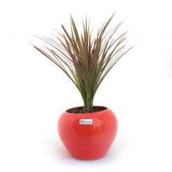 گیاه دراسنا پرچمی به همراه گلدان سفال