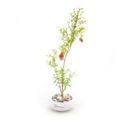 بونسای انار به همراه گلدان سفال   سایز کوچک