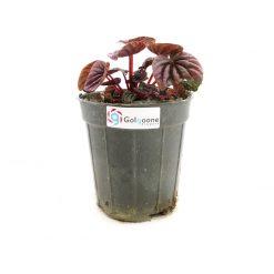 گیاه پپرومیا قرمز