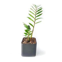 گیاه زاموفیلیا به همراه گلدان میکا مکعب   سایز متوسط