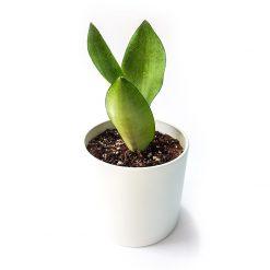 گیاه سانسوریا مهتابی به همراه گلدان میکا استوانه ای   سایز کوچک