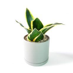 گیاه سانسوریا گلدن هانی به همراه گلدان میکا استوانه ای | سایز متوسط