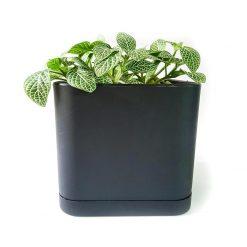 گیاه فیتونیا به همراه گلدان میکا مکعب | سایز متوسط