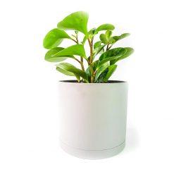 گیاه پپرومیا برگ قاشقی به همراه گلدان میکا استوانه ای | سایز متوسط