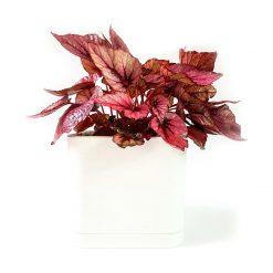 گیاه بگونیارکس به همراه گلدان میکا مکعب   سایز متوسط